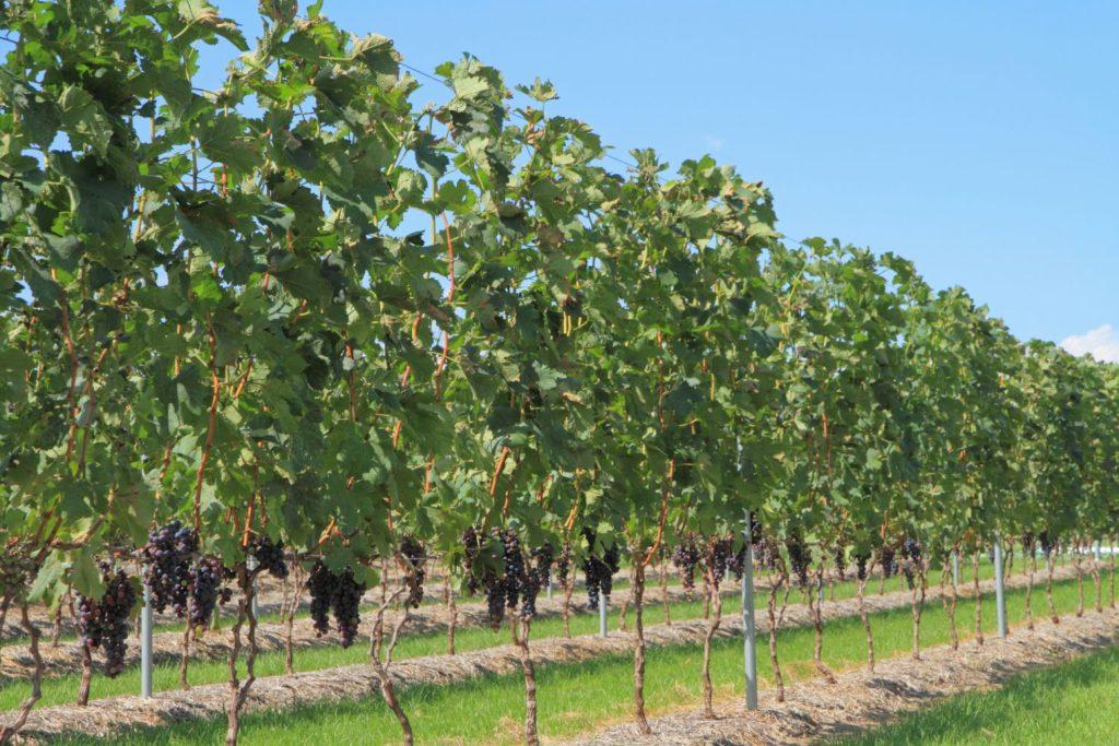 メルローの葡萄畑