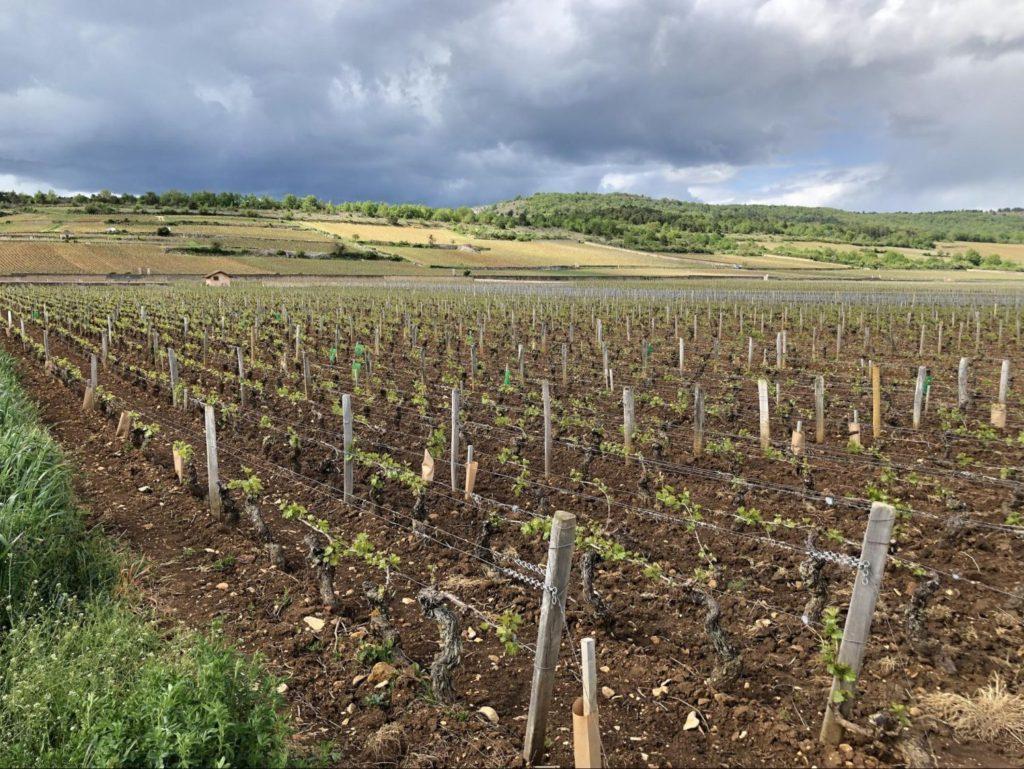 モンラッシェの畑